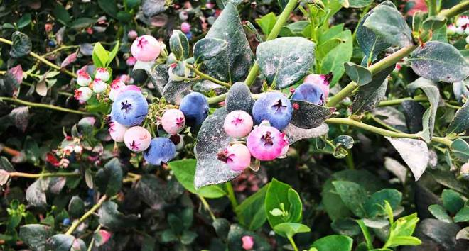 Peru would have become the world´s largest exporter of blueberries