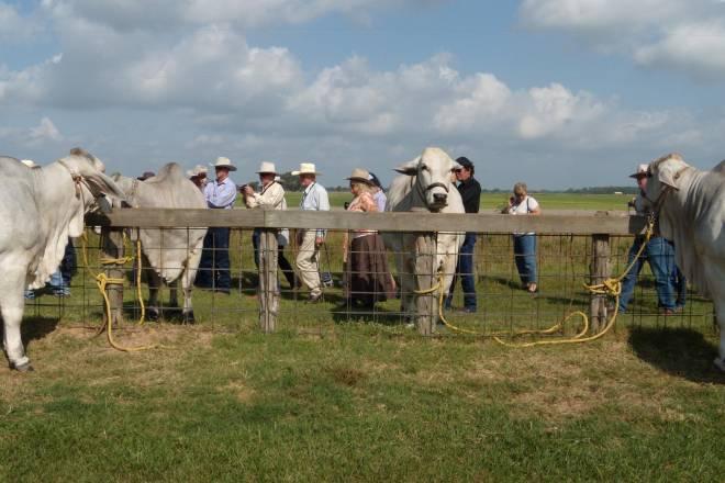 Cattle Visit Farm Tour USA