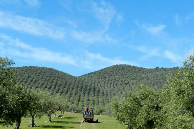 Olive groves and olive oil