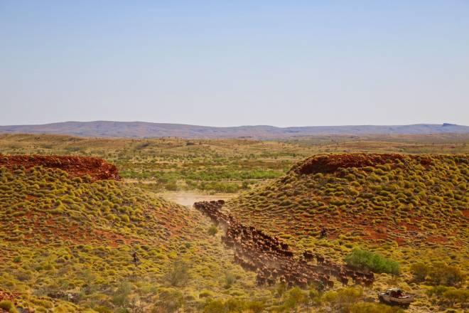 Cattle - Pilbara region - northern Western Australia