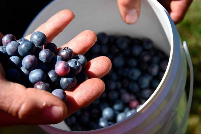 Peru is the world's leading exporter of blueberries and the United States accounts for 50% of blueberry exports.
