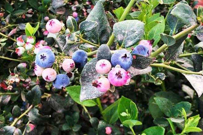 Blueberries Peru