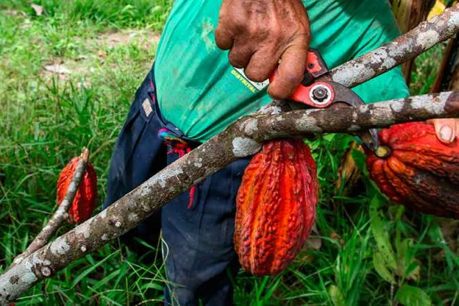 Piura and its committed producers have once again demonstrated the quality of their cocoa