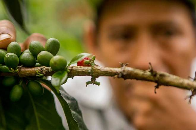 Organic coffee production is developed in more than 95,600 certified hectares in 13 regions of Peru.